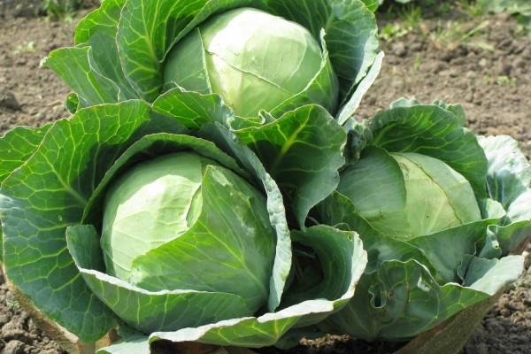 Капуста как полезный овощ для человека