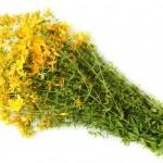 Зверобой — трава от 99 болезней