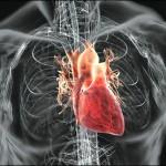 Наше сердце имеет собственный «мозг»